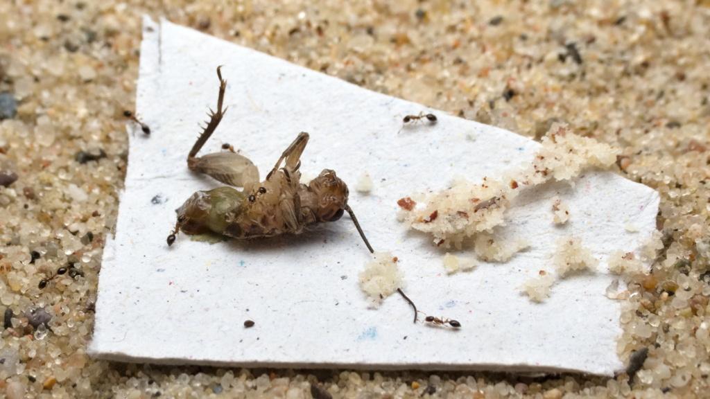 Eine Steppengrille (Gryllus assimilis) und gemahlene Haselnusskerne wurden der Monomorium floricola Kolonie angeboten.