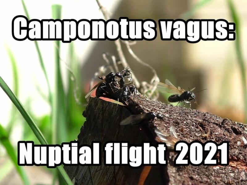 Camponotus vagus: Schwarmflug 2021 (Video)