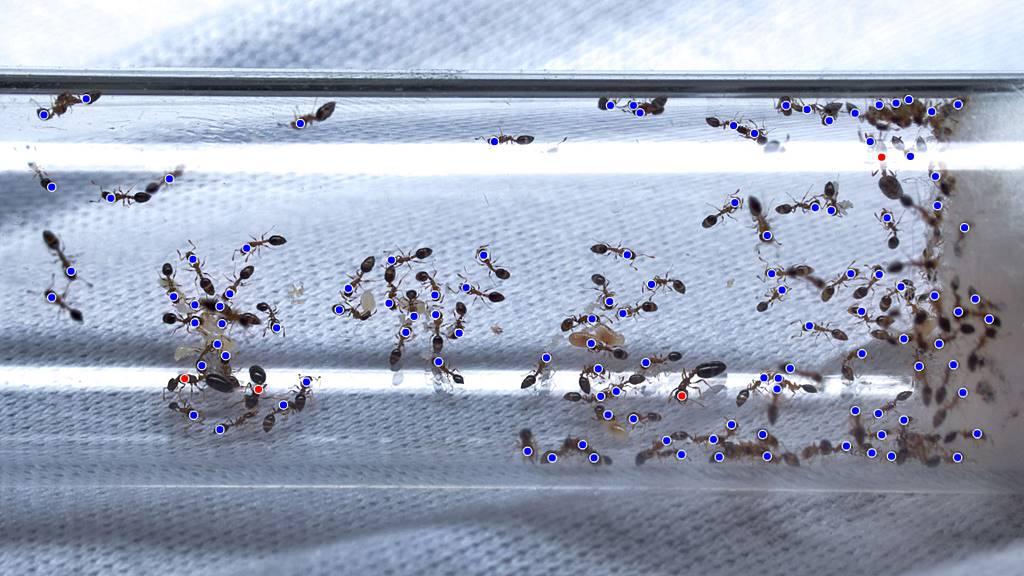 Mit Punkten markierte gezählte Ameisen in einem Reagenzglasnest