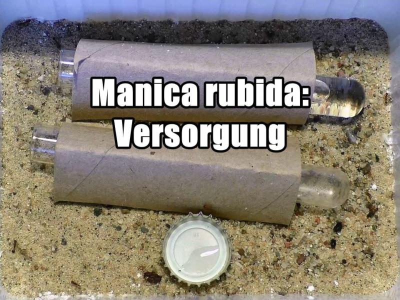 Manica rubida – Versorgung (Video)