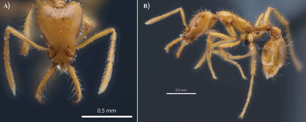Abbildung des Präparats der Ameisenart Strumigenys ayersthey.