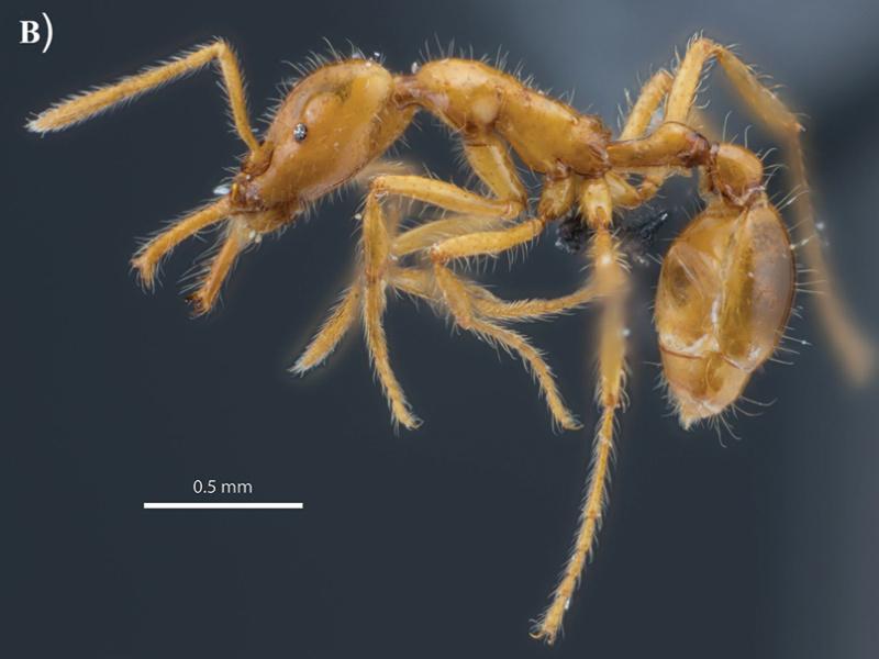 Erste genderneutrale Ameisenart